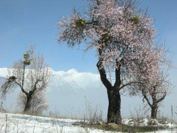 Alberi in fiore e neve di marzo sul Gran Sasso (17001 bytes)