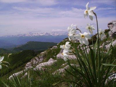 Narcisi dei Monti Gemelli (30317 bytes)