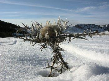 Un cardo solitario in inverno al Gran Sasso (24243 bytes)