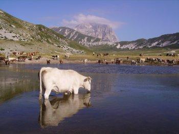 Una mucca si rinfresca nel laghetto Pietranzoni a Campo Imperatore (18490 bytes)